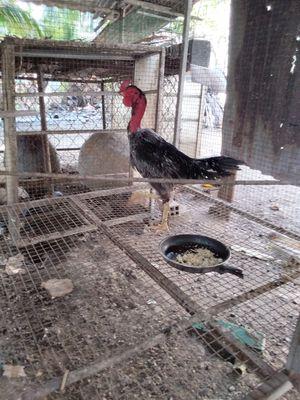 bán gà  Xám Tơ 3 kg