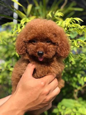 Chó poodle tiny nhà sinh sản! Có ship đến nhà!