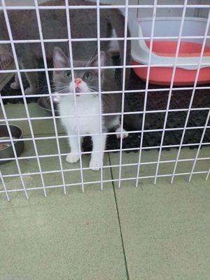 Bán mèo Aln thuần chủng đực cái 2 tháng