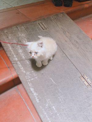 Mèo cái.2 tháng tuổi.lông vàng trắng