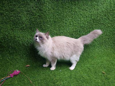 Mèo Ragdoll cái Tơ