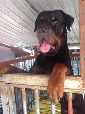 Chó rottweiler trên 60kg cực sung cần phối