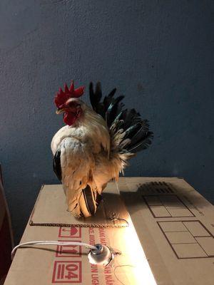 Bán gà serama