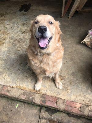 Bán chó Golden Retriever trưởng thành 2,5 tuổi