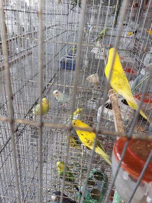 thanh lý hêt chuồng chim yến phụng