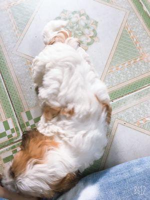 Chó poodle lai xù nhật , 2 tháng tuổi, đực.