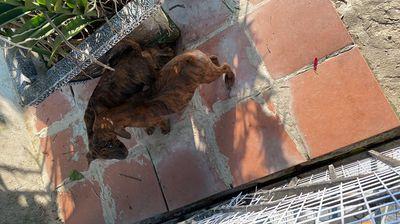 Chó Phú quốc vện đẹp 2 tháng tuổi