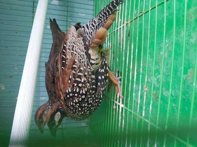 Cặp chim gáy tacta dada sinh sản