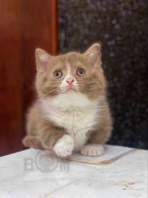 Mèo munchkin màu bicolor cinnamon gt đực