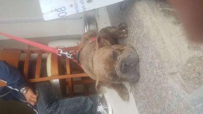 Chó Bully mỹ 15 tháng 35kg
