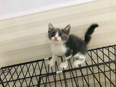 Mèo aln lai ta, bicolor dễ thương, xin vía cho mẹ