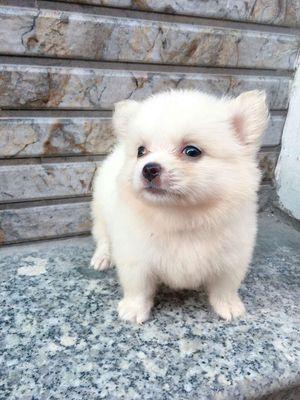 Chó pom f1 500gram 2 tháng