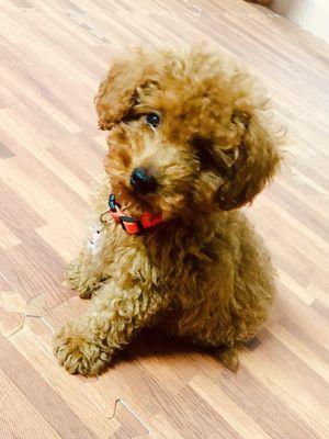 Chó Poodle thuần chủng 2.5 tháng