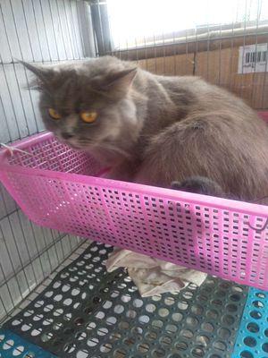 Ald xám xanh tai cụp lửng tặng mèo con mới đẻ