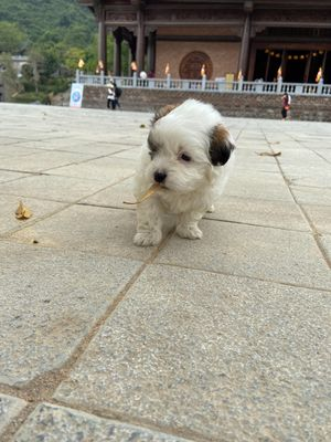 Chó Phốc sóc lai Nhật gần 3 tháng tuổi