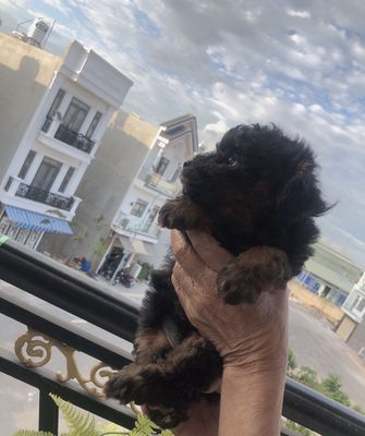 Chó Poodle Toy Màu hiếm Nâu Đỏ-PhanTom cần bán