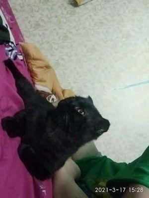 Mèo anh lông nghăn tai cụp mèo đực dưới 1nam tuổi