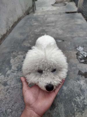 Chó poodle đực 8 tháng tuổi