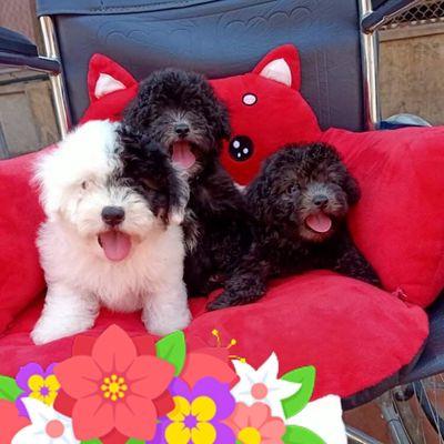 Chó poodle teacup và tini 3 tháng tuổi