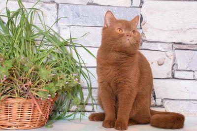 Mèo lông ngắn nâu đỏ