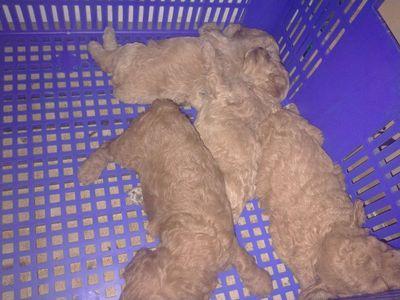 Chó poodle nâu và vàng mơ các bé là cái nặng 7lg