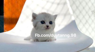 Mèo aln Munchkin thuần chủng nhà nuôi