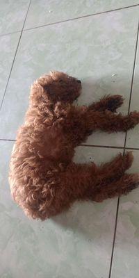 Poodle nâu đỏ đực, 2,5 tháng