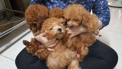 Chó poodle nâu đỏ thuần chủng 3 tháng tuổi