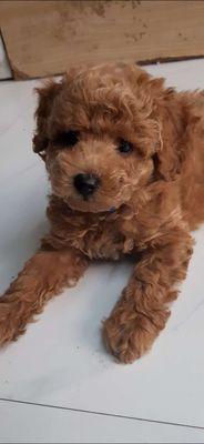 chó poodle đực 1,5 tháng