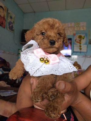 Chó Poodle giống đực lông nâu tầm 2 tháng tuổi