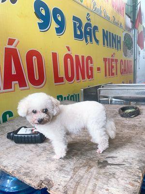 Chó Poodle Tiny Cái giá rẻ