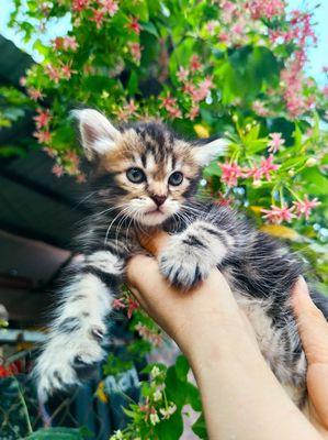 Mèo 34 lông dài