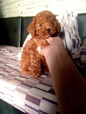Chó Poodle cái tiny nâu đỏ 2 tháng