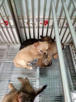 Chihuahua lông dài