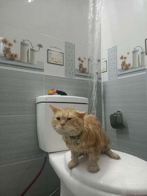 bán mèo aln kèm phụ kiện