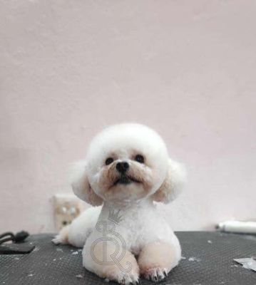 0798572696 - Nhận phối giống poodle trắng xinh xắn