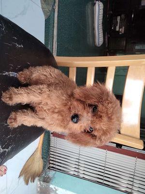 Chó poodle tiny nhỏ đáng iu,ngoan biết nghe lời