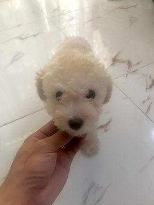 Poodle tiny trắng kem đực