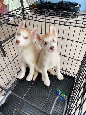 Husky đẹp mắt xanh, 2 cái 1 đực , 4tr2 1 bé