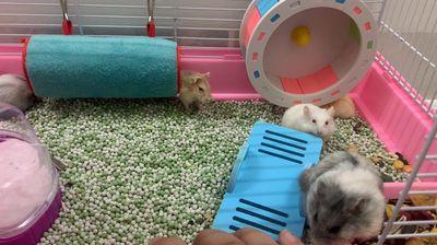 Chuột hamrts