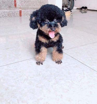 Poodle phantom cái trưởng thành