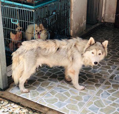 Chó Kéo Xe Tuyết Siver Gray Cái 5 Tháng