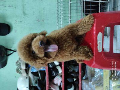 Poodle nâu đỏ đực