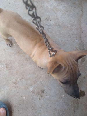 Chó phú quốc vàng cái 5kg