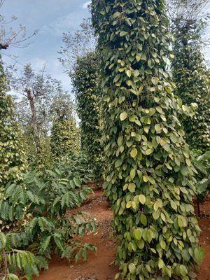 1,5ha mặt tiền đất tiêu cà bao sang tên, Đắk Song