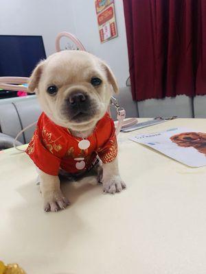 Chó Bug lai