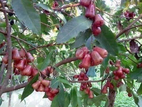 0977881550 - Giống cây roi đỏ