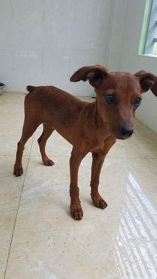 Chó PHỐC HƯƠU , thuần chủng