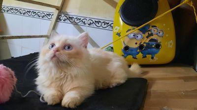 Mèo munchkin màu kem ..mắt xanh dương trộn vàng ..