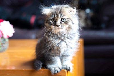 Bán mèo ald tai cụp lửng nhà nuôi đẻ
